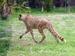 2012 - Cheetah 8