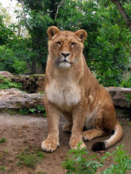 2012 - African lion 29