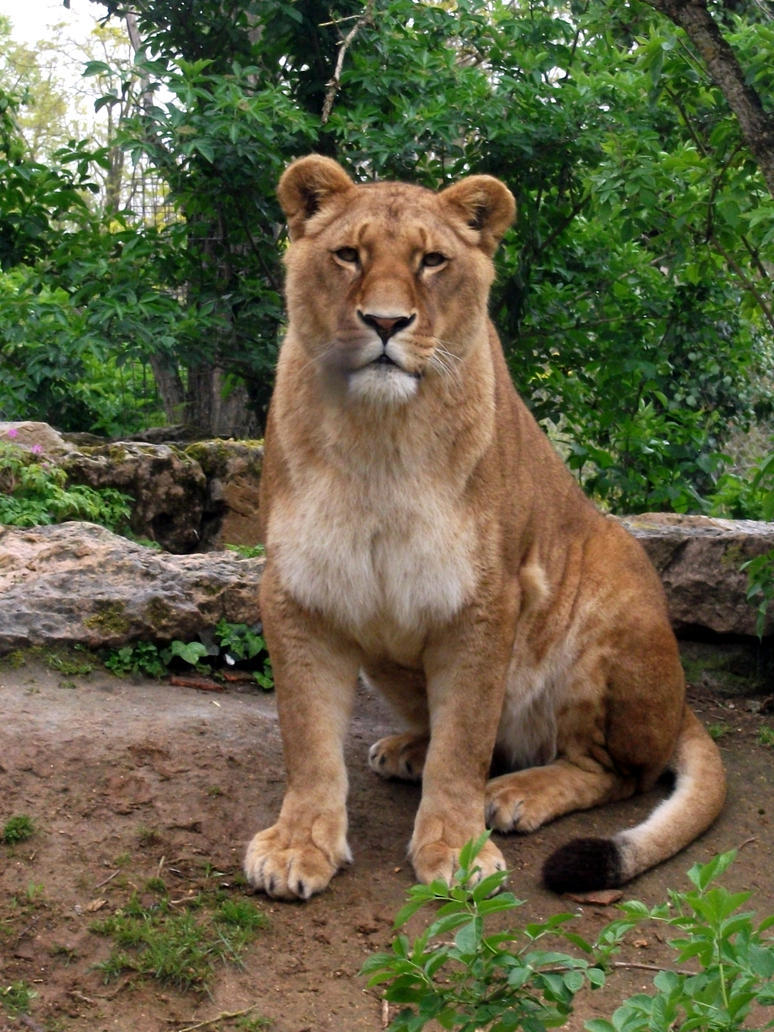 2012 - African lion 29 by Lena-Panthera