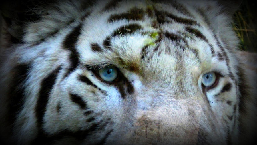 Gallery For > White Tigers With Blue Eyes Wallpaper