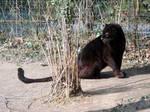 2013 - Black leopard 2