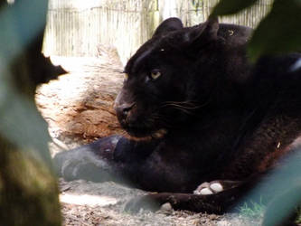 2013 - Black leopard 22 by Lena-Panthera