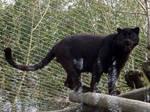 2014 - Black leopard 1