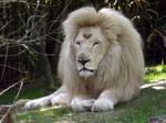 2014  White lion 7 by Lena-Panthera