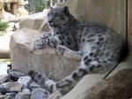 2014 - Snow leopard 32 by Lena-Panthera