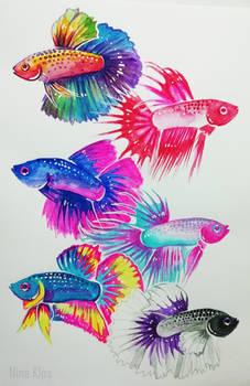 Pride Betta Fish