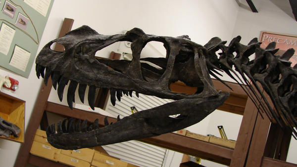 http://img09.deviantart.net/9b4f/i/2007/053/f/d/ceratosaurus_juvenile_photo_by_waylonrowley.jpg