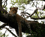 Leopard in Ngala