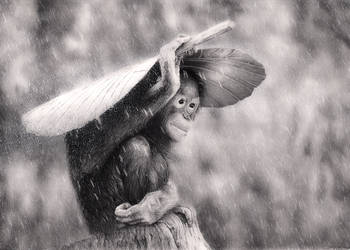 Orangutan in The Rain by Bengtern