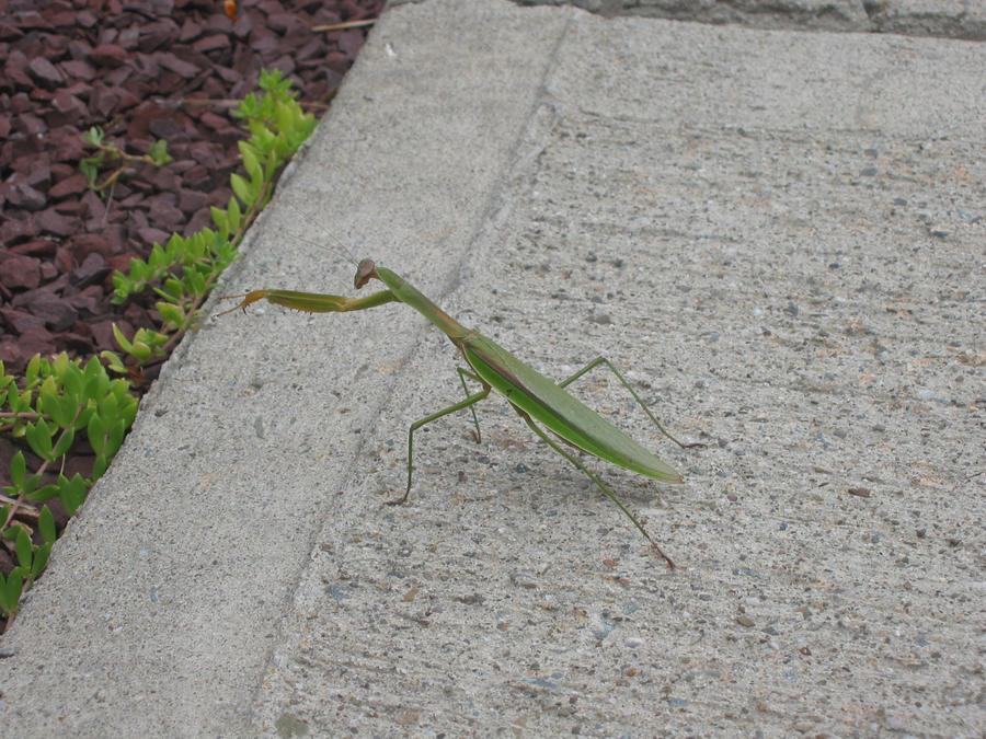 Praying Mantis by SacredLugia