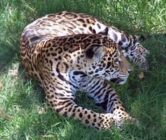 jaguar by NikiljuiceStock