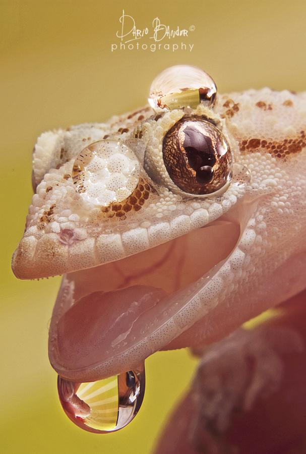 Geckoooooo by Bandur88