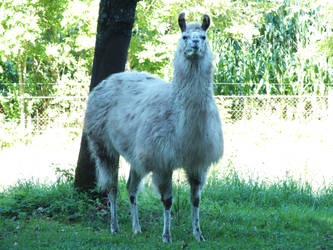 Albino llama by leeman10