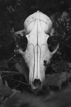animal skull (black and white)