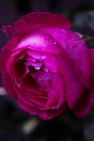 Rock n Rose by inAroundOf