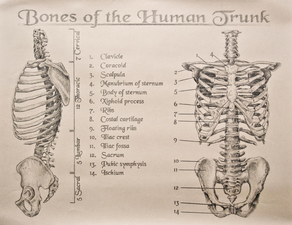 Bones Of The Human Trunk By Tamnguyenk On Deviantart