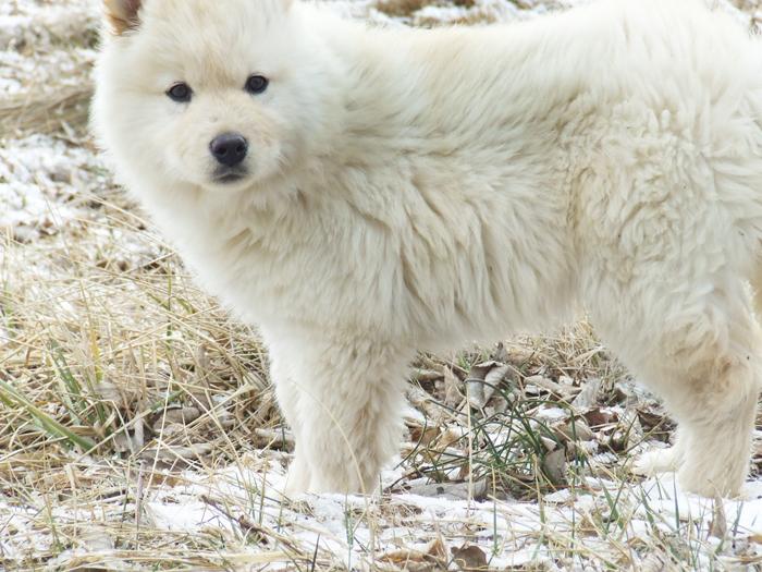 Must see Wolfbear Chubby Adorable Dog - wolf_cub_or_polar_bear_cub_by_chyanneypoo  Graphic_952099  .jpg