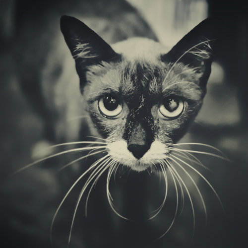 Siamese Cat by Rawangtak