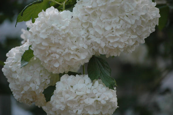 White puffball flowers by zoginger on deviantart white puffball flowers by zoginger mightylinksfo