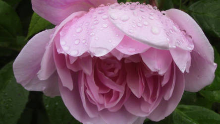 Raindrops on a Rose by Tabanoffi