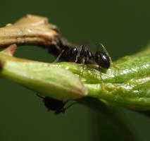 Ant - Mrowka