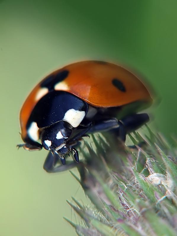 Ladybird 3 original by mateuszskibicki1