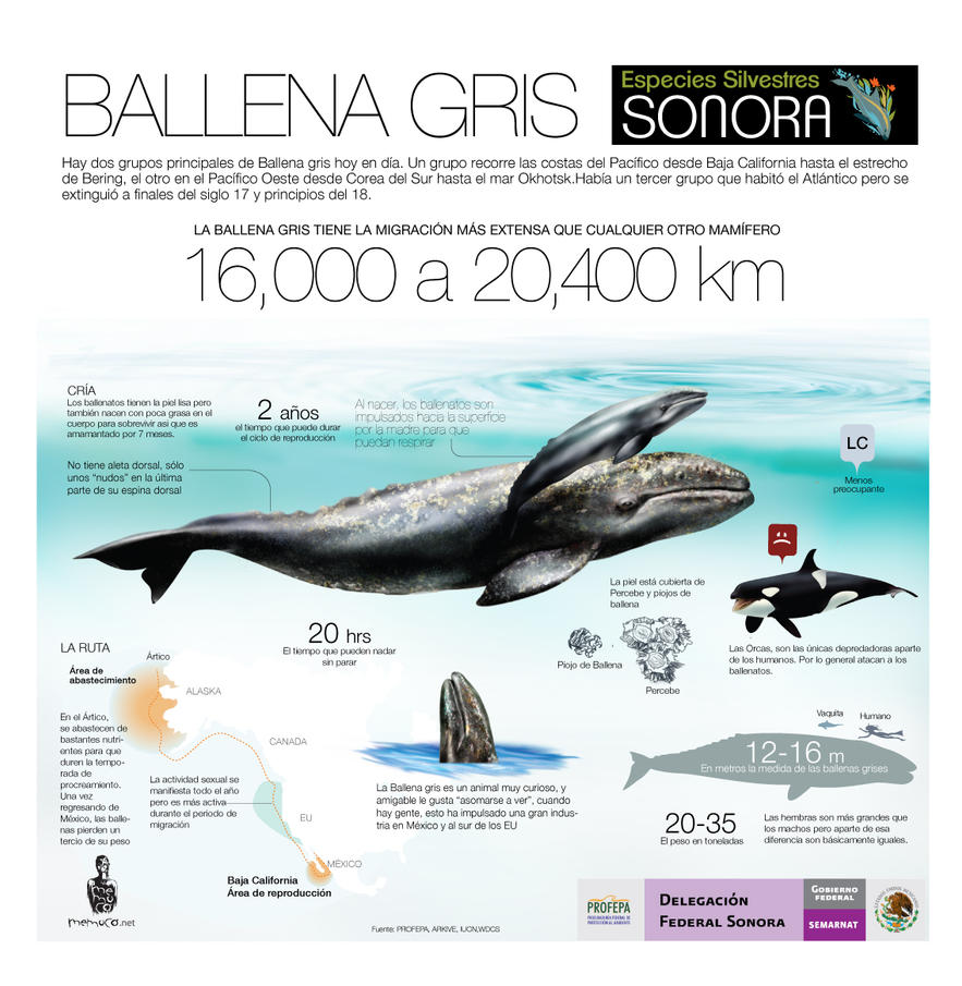 BALLENA GRIS (GRAY WHALE) by memuco
