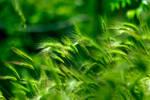 Barley II by K4PP4