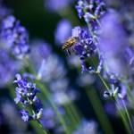 Lavender by K4PP4