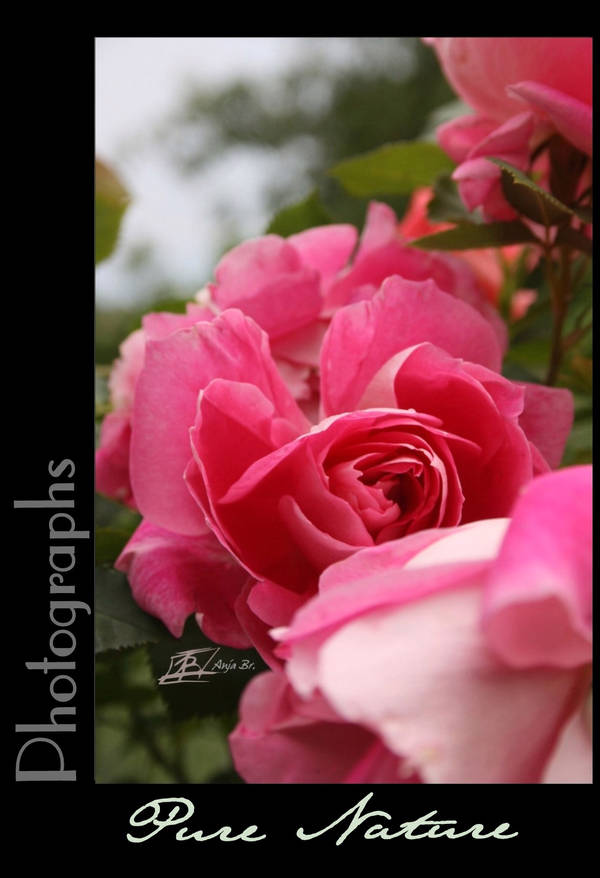 Photography Natur Pink Rose by redfoxlady