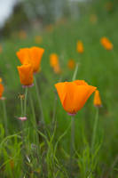160303 Poppies by nightandrei