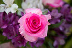 Pink Rose by nightandrei