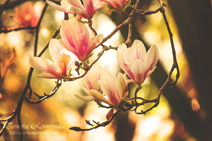 Magnolia by TammyPhotography