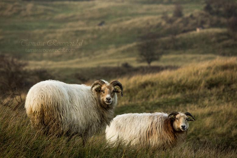 Sheep patrol by TammyPhotography