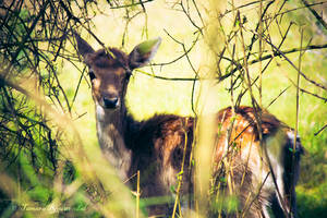 Little Fawn in the Woods by TammyPhotography