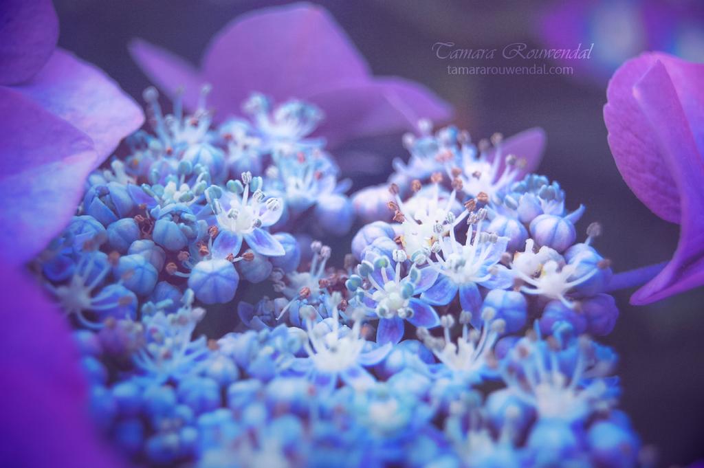 Hydrangea by TammyPhotography