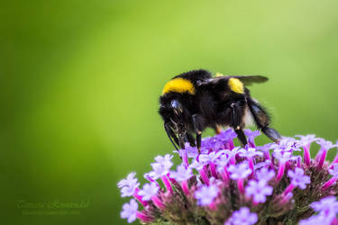 Bumblebees Favourite by TammyPhotography