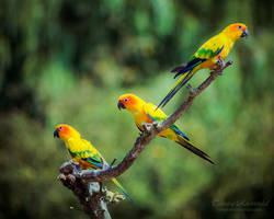Three Sun parakeets