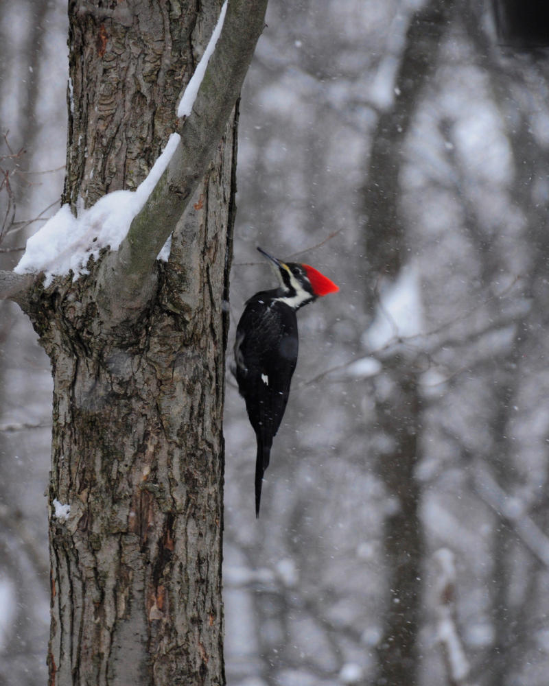 Wood Pecker by MikeysPhotos