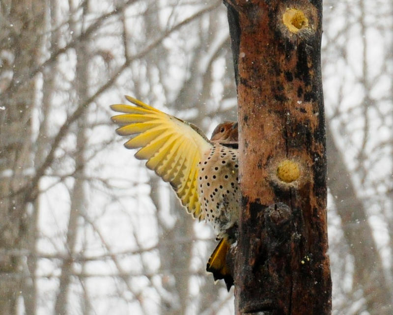 Northern Flicker by MikeysPhotos
