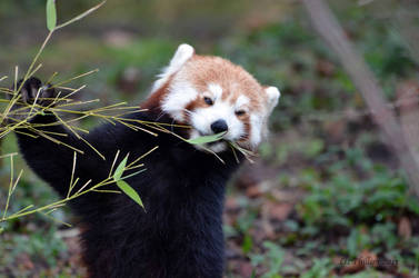 Cute Red Panda by Red-Smurfette