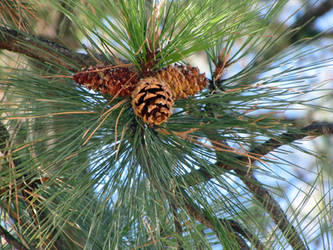pine cones by candescere