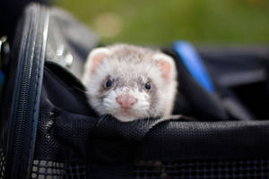 Mocca the ferret by Nevermaketherules