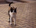 Cats of Morocco IIII