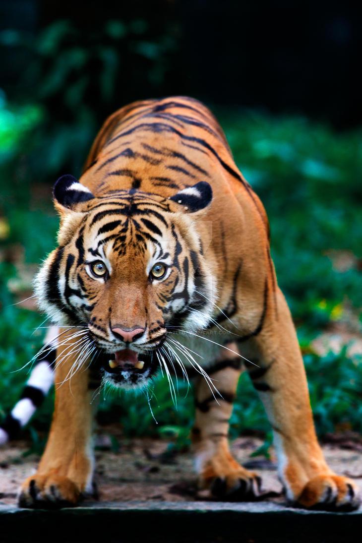 Tiger by mohamadfazli