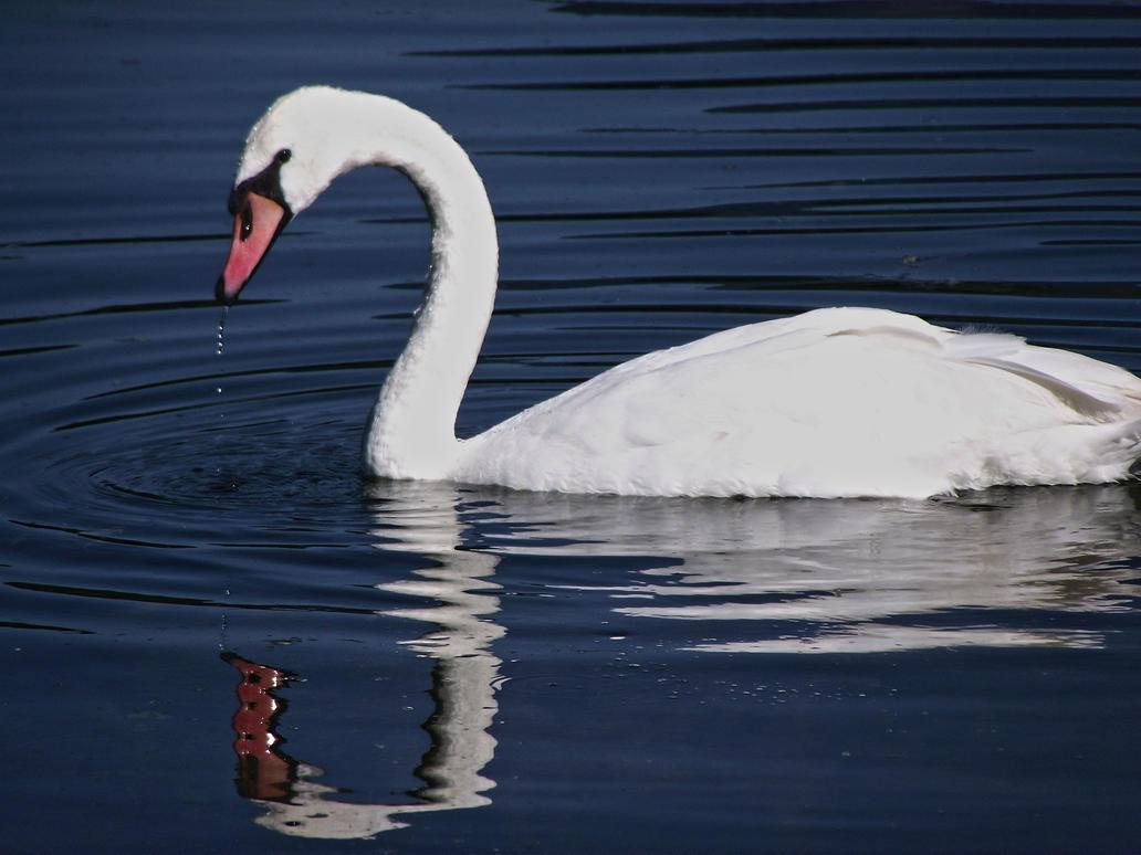 swan by DoWhoRanZone