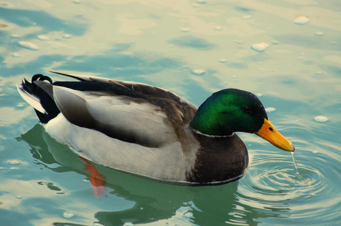 ducks swimming on the - photo #1