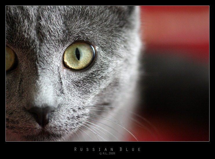 Russian Blue by Mr808