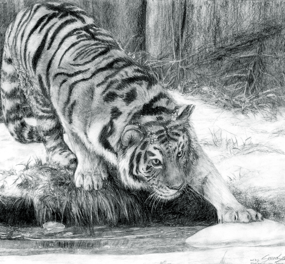 Final project tiger drawing by buttercupbabyppg
