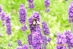 The Bees Are in the Lavender..